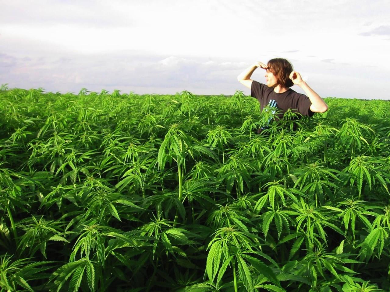 Поля марихуаны скачать на столе конопля