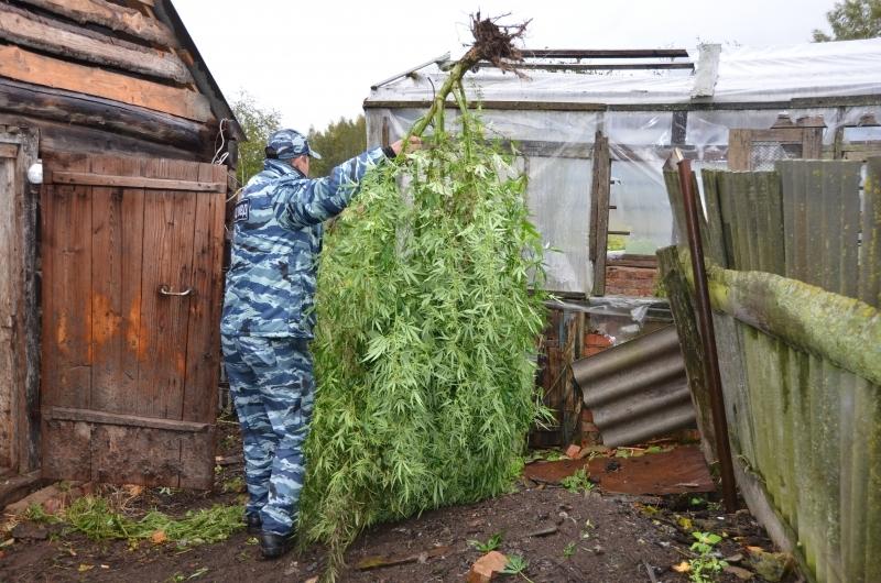 Куст марихуаны на огороде линда и st марихуана слушать