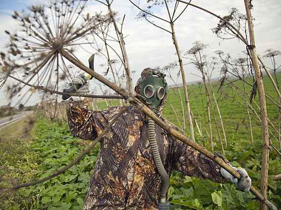 Государственная дума обратится вМинсельхоз спросьбой подготовить программу борьбы сборщевиком
